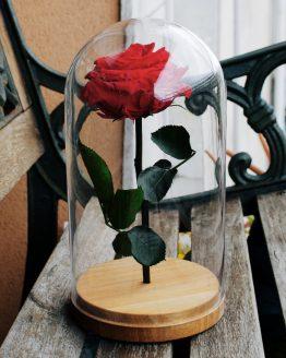 rosa encantada bella y bestia