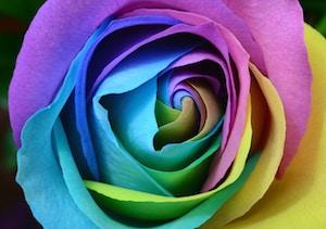 donde comprar la rosa multicolor