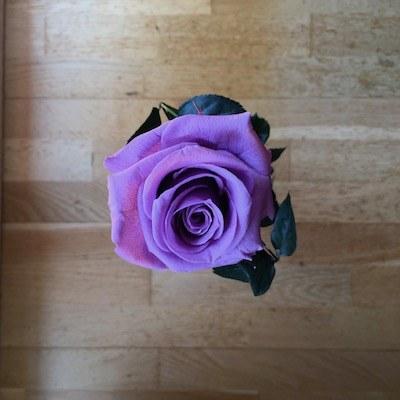 rosa eterna lila