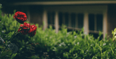 cuánto cuesta una rosa