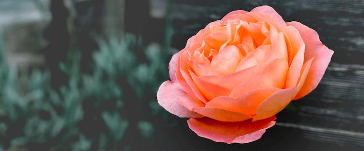 cuidados de la rosa eterna