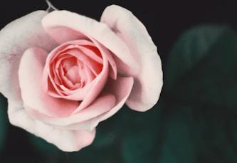 rosas rosas significado