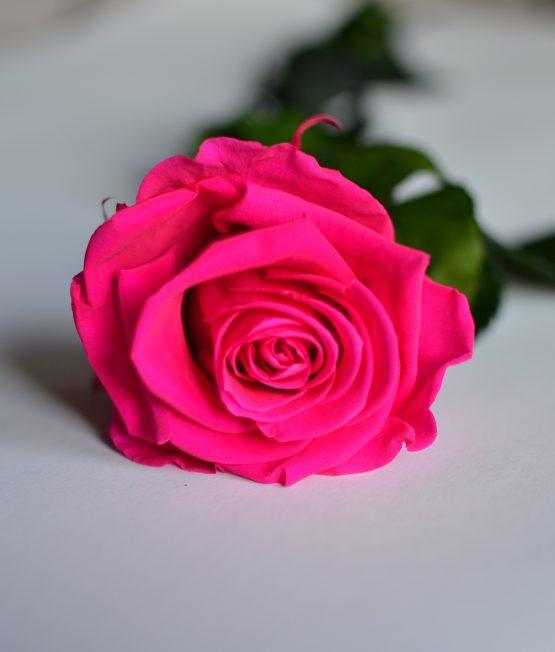 rosa eterna fucsia