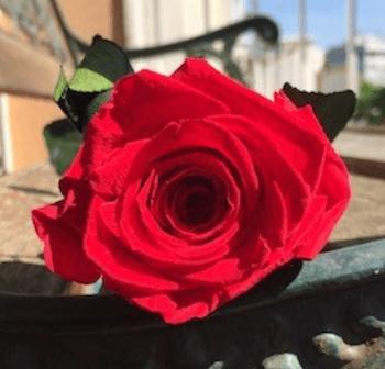 significado de la rosa roja