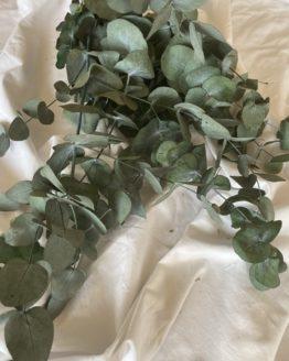 eucalipto preservado