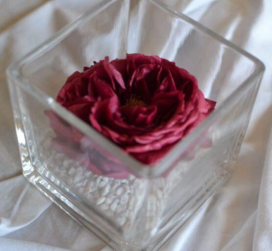 rosa preservada en vaso cuadrado garden rose burdeos