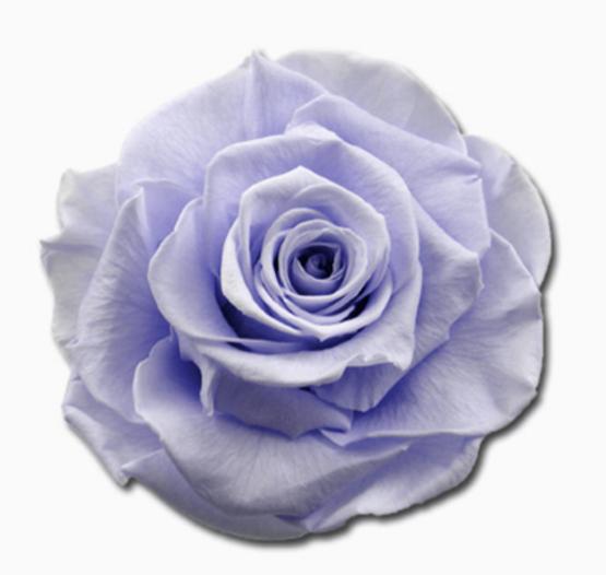 Cabeza Rosa Preservada Azul Bebé
