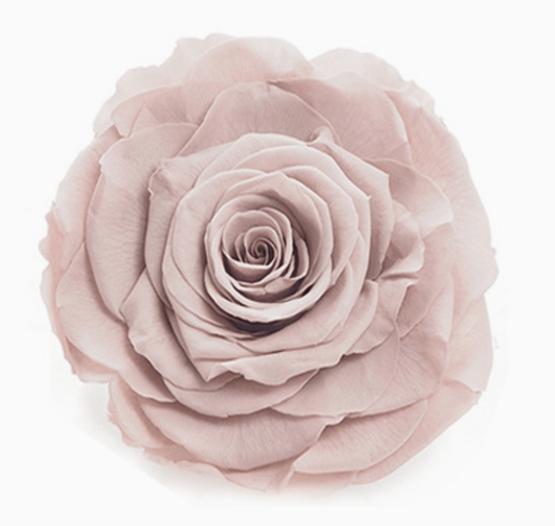 Cabeza Rosa Preservada Beige