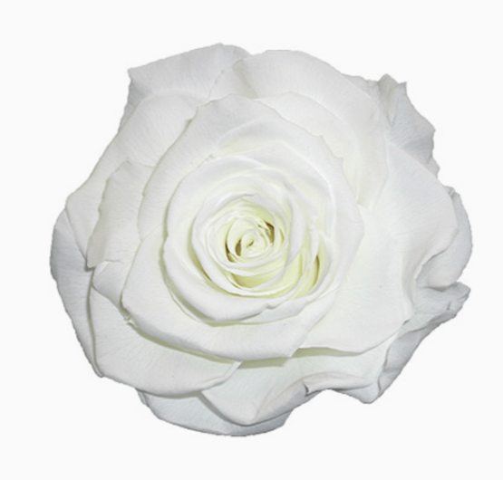 Cabeza Rosa Preservada Blanca