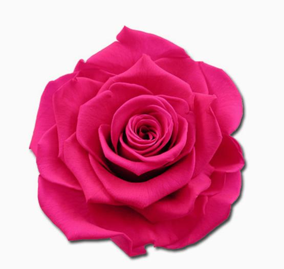 Cabeza Rosa Preservada Fucsia