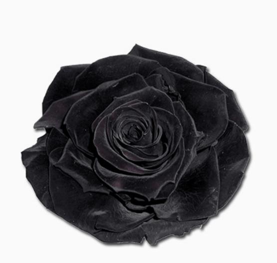 Cabeza Rosa Preservada Negro