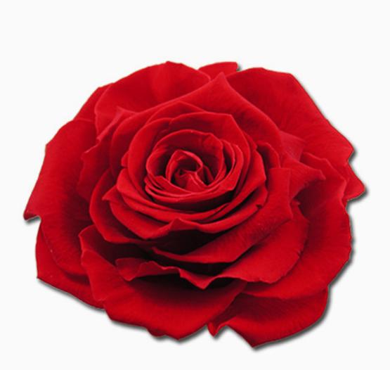 Cabeza Rosa Preservada Roja