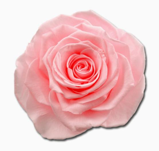 Cabeza Rosa Preservada Rosa Bebé
