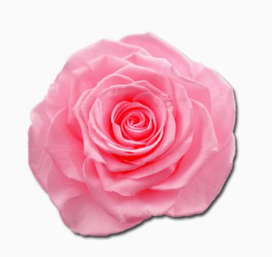 Cabeza Rosa Preservada Rosa Chicle