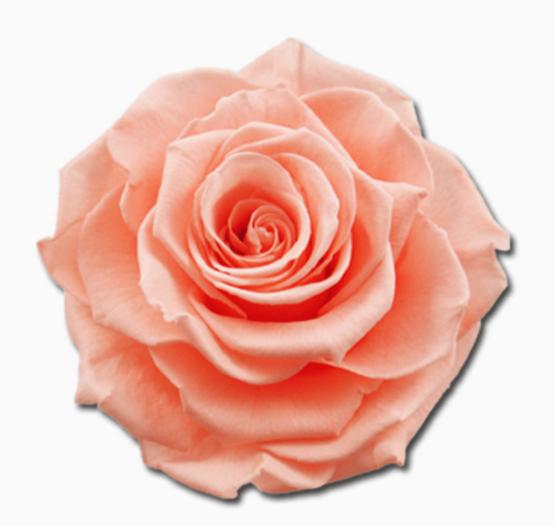 Cabeza Rosa Preservada Salmón